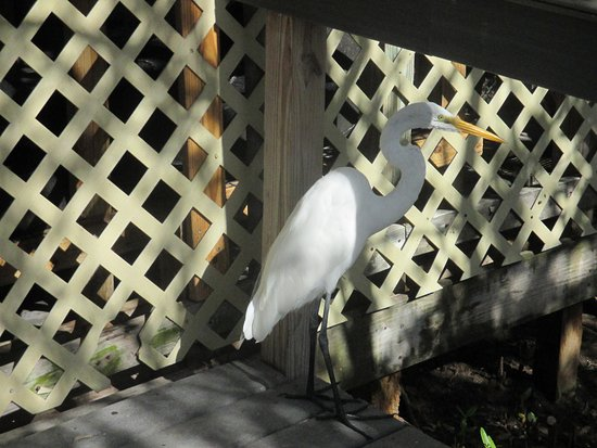 Tavernier, Flórida: Wild egret also visiting caged colleagues