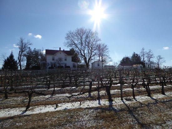 Amissville, VA: Vines