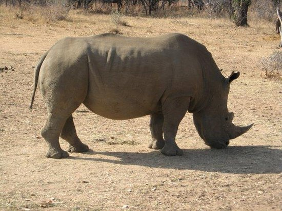 Waterberg, Νότια Αφρική: Rhino