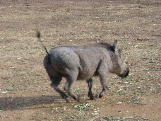Waterberg, Νότια Αφρική: Warthog