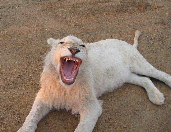 Waterberg, Νότια Αφρική: White Lion