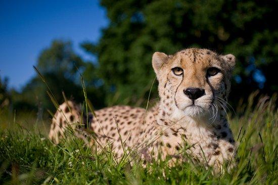 Murphy The Cheetah At The Big Cat Sanctuary