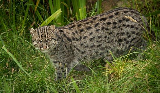 Smarden, UK: Aquarius the Fishing Cat at The Big Cat Sanctuary