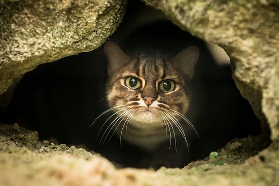Smarden, UK: Rusty Spotted Cat at The Big Cat Sanctuary