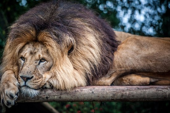 Smarden, UK: TIny the African Lion at The Big Cat Sanctuary