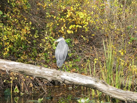 Peninsula, OH: blue heron down at the Beaver Marsh