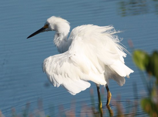 Hopkins, Belize: Snowy Egret