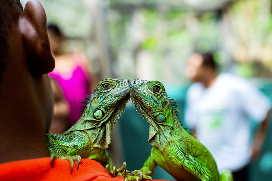 Green Iguana Conservation Project