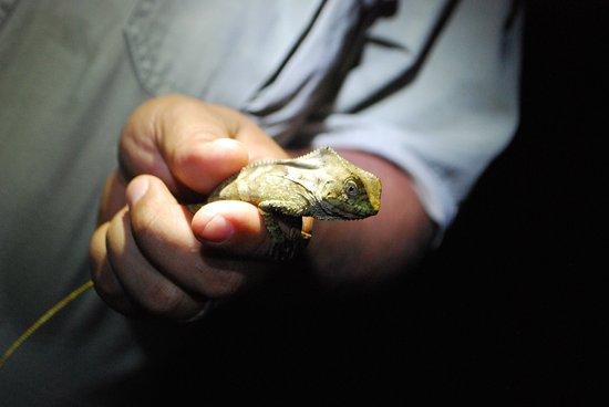 Parrita, Costa Rica: casket head lizard