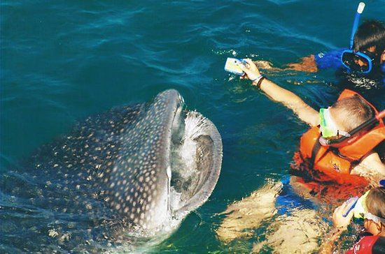 Cancun Whale Shark Swim All-Inclusive...