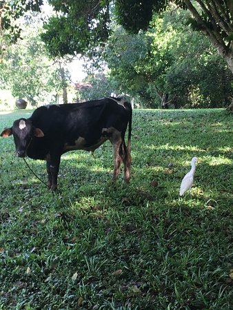 Lunuganga: By each cow was a little heron, ready to pick and eat the flies