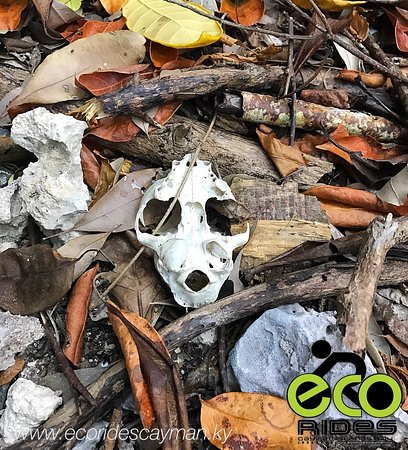 East End, Grand Cayman: Interesting skeleton found on our route which looks like it could be of a small animal like an A