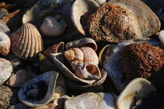 Pevensey, UK: Seashells to collect