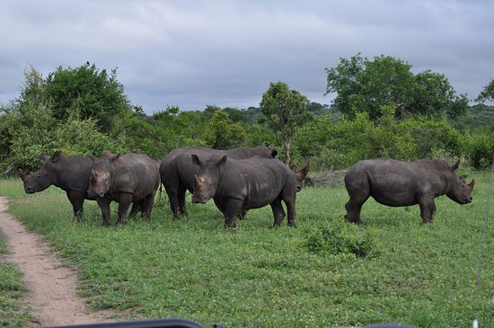 Ngala Private Game Reserve, แอฟริกาใต้: Five male rhinos hanging out together