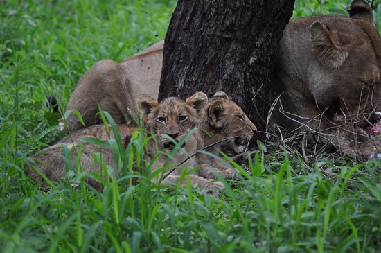 Ngala Private Game Reserve, แอฟริกาใต้: The lion cubs waiting patiently for their breakfast