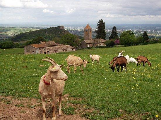 Solutre-Pouilly, Francia: Les chèvres de la Grange du bois