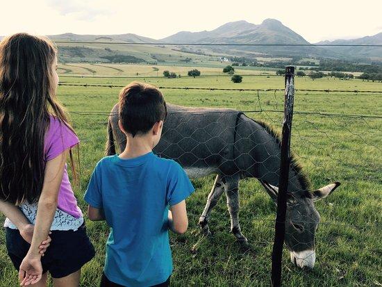 Kokstad, Afrique du Sud : Feeding one of the donkeys that came by the fence.