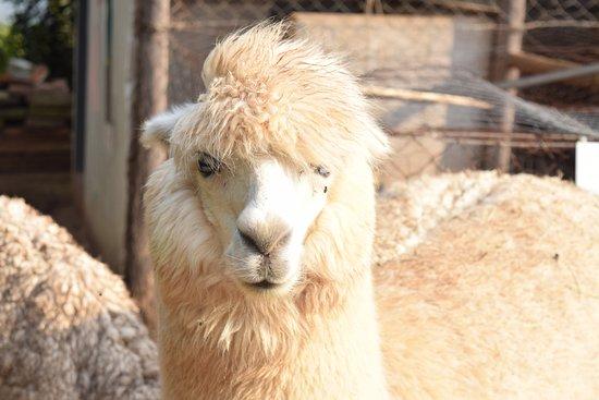 Piet Retief, Νότια Αφρική: Alpaca!