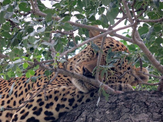 Tintswalo Safari Lodge: leopardo in siesta