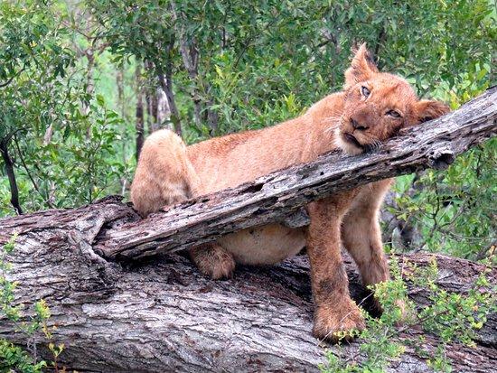 Tintswalo Safari Lodge: leoncino dopo pranzo