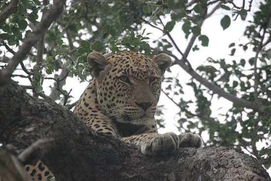 Manyeleti Game Reserve, South Africa: Leopardo