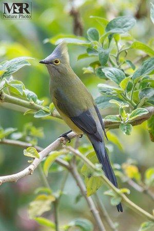 San Gerardo de Dota, Κόστα Ρίκα: Long-tailed Silky-flycatcher (Ptiliogonys caudatus) © Mauro Roman Nature Photo