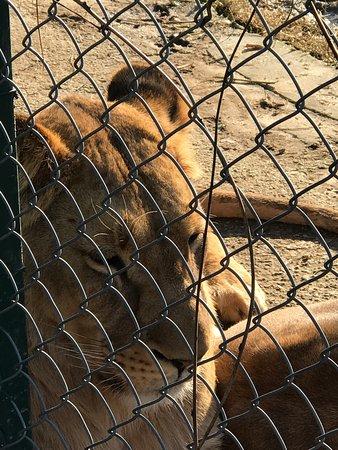 Lion - Faruk Yalcin Hayvanat Bahcesi, Darıca Resmi ...