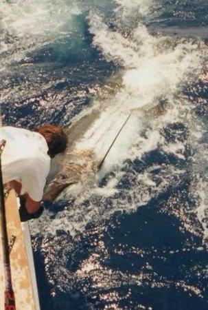 Pembroke Parish, Βερμούδα: 1200lbs. Blue Marlin release