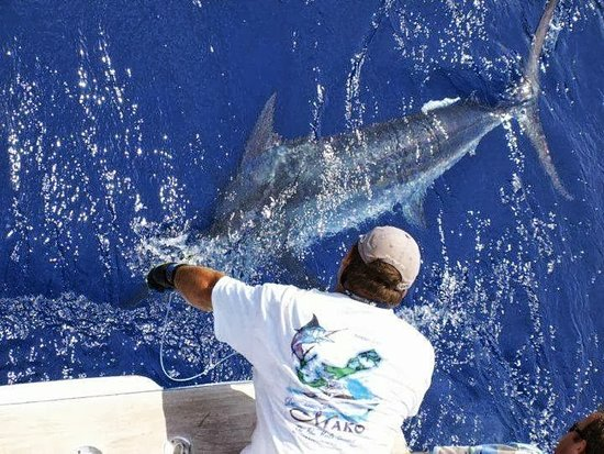 Pembroke, Islas Bermudas: Health released Blue Marlin