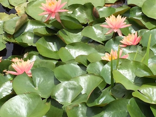 Snells Beach, Nueva Zelanda: Lotuses in flower on small lake viewed through Brick Bay Glass House restaurant window