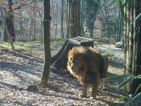 Leone Foto Di Giardino Zoologico Di Pistoia Pistoia