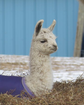 Milton, NY: The new baby llama!
