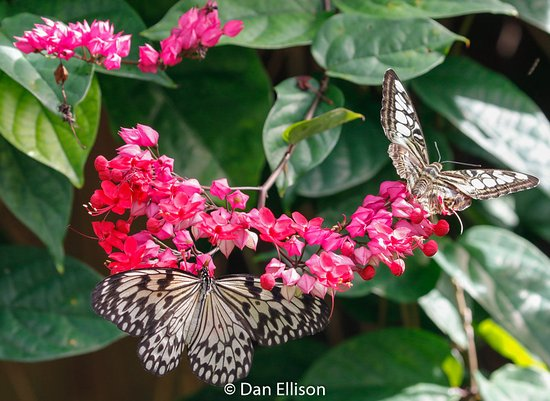 Paper kite feeding on flowers in the butterfly enclosure picture fairchild tropical botanic garden paper kite feeding on flowers in the butterfly enclosure mightylinksfo