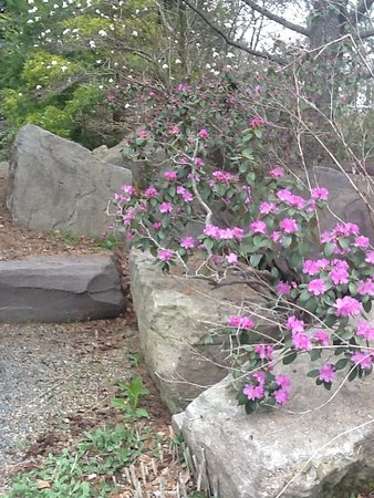 Hamilton, Nueva Jersey: Rhododendrons---at peak around Mother's Day