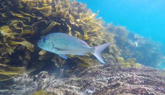 Leigh, New Zealand: Big snappers swimming around