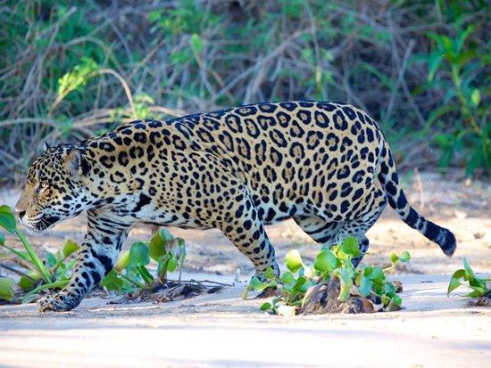 pantanal jaguar safari picture of pantanal ecoverde tours cuiaba tripadvisor. Black Bedroom Furniture Sets. Home Design Ideas