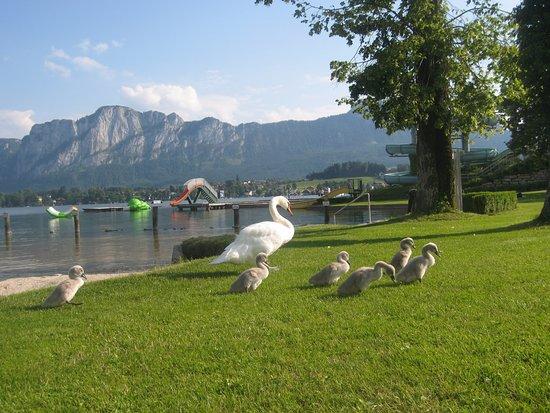 Mondsee, Austria: часто выходят лебеди на прогулку