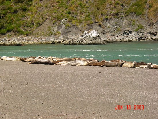 Guerneville, CA: Seals on beach where Russian River enters Pacific Ocean in Jenner, CA