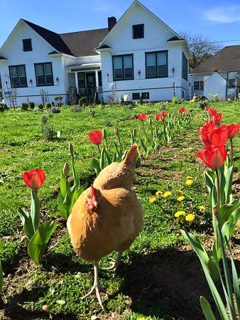 Hen and Tulips at Deer Island Manor
