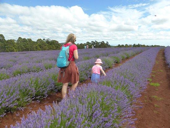 Bridestowe Lavender Estate: December 29 - full blooms