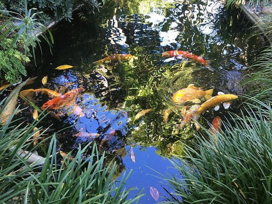 Encinitas, CA: lago de carpas