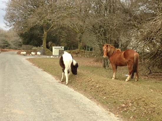 Yelverton, UK: Ponies and sheep outside the hotel