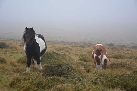 Postbridge, UK: Not far from the Inn we found the famous ponies.