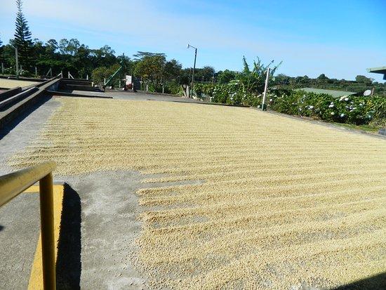Poas Volcano National Park, Κόστα Ρίκα: secado de cafe