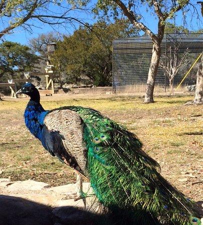 Sonora, TX: Peacocks at the Caverns