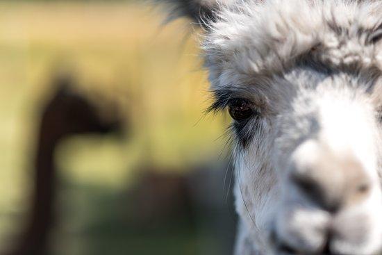 Fairlie, New Zealand: Alpaca