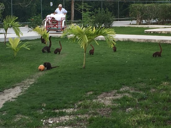 Allegro Cozumel: Pisota/Coati or Mexican raccoons play near the bungalows adjacent to the forest beyond the fence