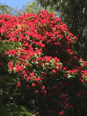 Macedon, ออสเตรเลีย: Rhododendrons at Duniera