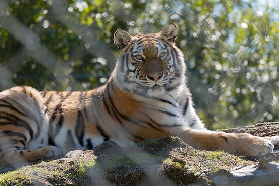 Greater Vancouver Zoo: Siberian Tiger