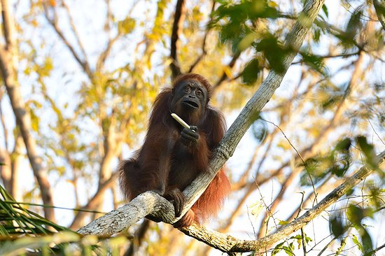 Kinabatangan District, Malaysia: What an exhilarating moment to see an Orang Utan in the wild